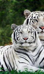 Animals of the world: White Tiger