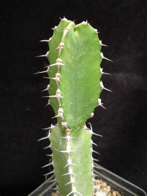 euphorbia parciramulosa cactofili