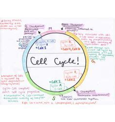 cellular respiration glycolysis diagram google search