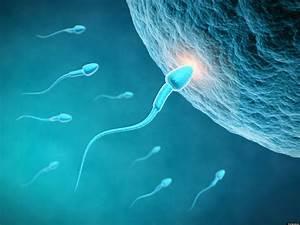 Fertility Affected By Sperm Length  Study Finds