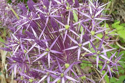 buy christophii allium bulbs ashridge nurseries