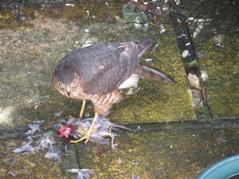 Sparrow Hawk Problem  Feeding Garden Visitors Wildlife