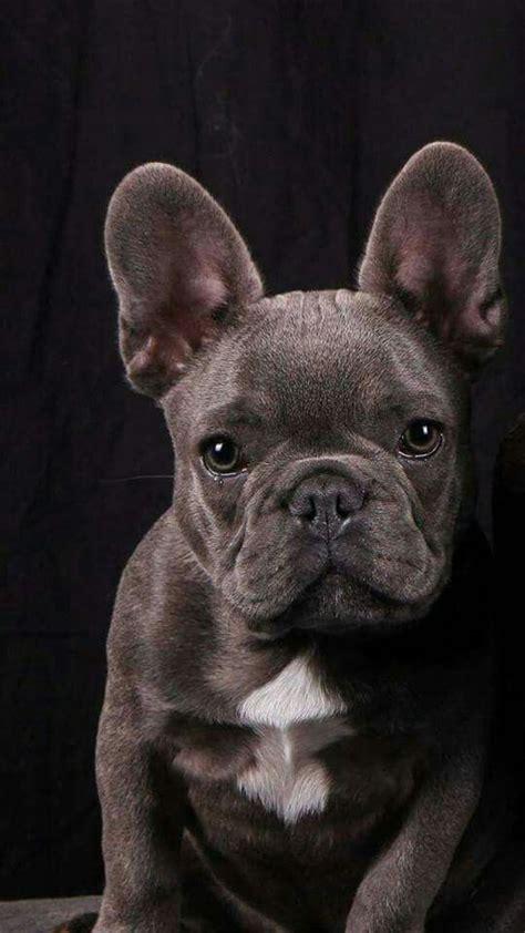 ideas  grey french bulldog  pinterest