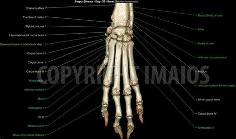 manus  carpus anatomy   dog  ct