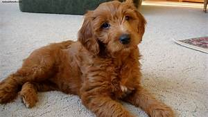 Goldendoodle - Puppies, Rescue, Pictures, Information ...