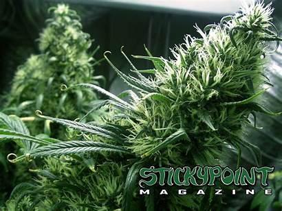 Cannabis Wallpapers Backgrounds Magazine Spm Wallpapersafari Hipwallpaper