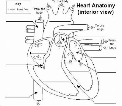 Heart Diagram Label Worksheet Parts Labelling Anatomy