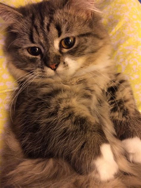 louie kitty images  pinterest baby kittens