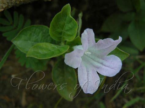 ruellia prostrata bell weed