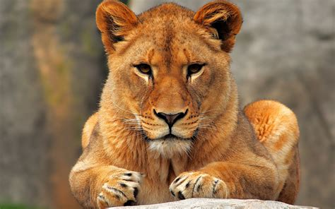 Ladies I Love L Is For Lioness, Badass Hunter And