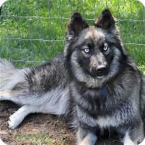 Pics For > Keeshond Malamute Mix