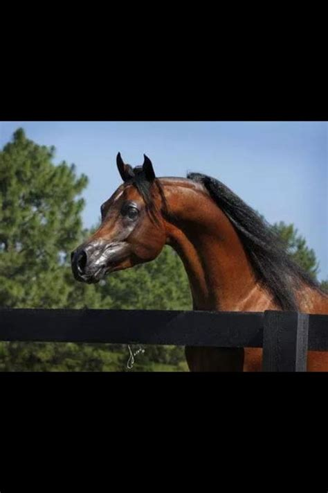 arabian horses egyptian mystic center veraz sf horse