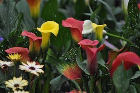 how to grow calla lillies how to grow the calla lily the garden of eaden