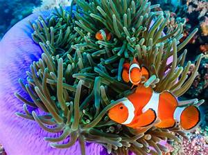 Diving With Clownfish Dive The World Creature Features