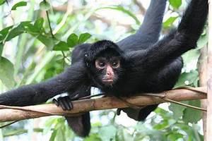 Funny Animals: Cute Spider Monkeys