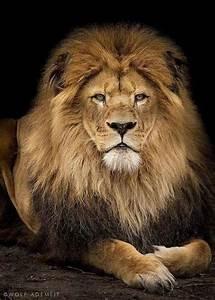 König Der Löwen Tapete : die besten 25 der l we ideen auf pinterest leo the lions afrikanische tiere und k nig der ~ Frokenaadalensverden.com Haus und Dekorationen