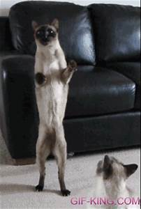 Cat Walking On Hind Legs | Funny Animal Images- Gif-King.com