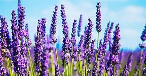 Lavendel Tee Selber Machen : 1001 blumenarten bilder und interessante fakten ~ Frokenaadalensverden.com Haus und Dekorationen