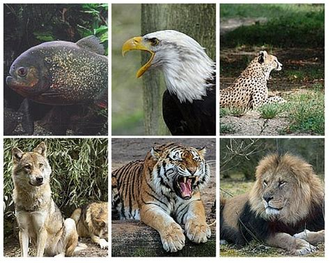 carnivores omnivores herbivores animals examples eat characteristics meat carnivorous tiger diet snake flesh eagle lion spider vulture owl difference features