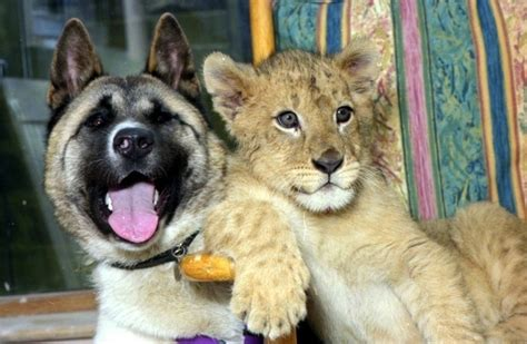 Video Lion Dog Bunny Rabbit Unlikely animal pairs     heart melt 625 x 408 · jpeg
