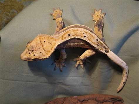 crested gecko lighting crested gecko ridge and valley reptiles