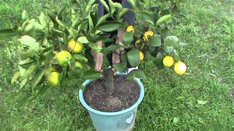 citrus salad tree citrus 2 graft fruit salad tree mpg youtube