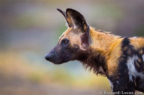 wild dog profile burrard lucas photography