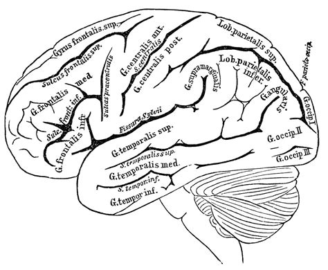 labeled brain black and white vintage anatomy images human brain the graphics