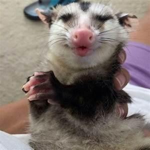 Happy opossum | ANIMALS - Opossum Awesome | Pinterest ...