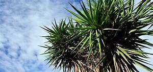 Yucca Palme Winterhart : yucca palme pflegen die besten tipps ~ Frokenaadalensverden.com Haus und Dekorationen