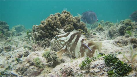 grouper nassau larger asks spawning aggregations recent comment overfishing abaco