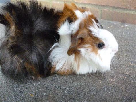 Abbyruvian Guinea Pig Tdf Blog