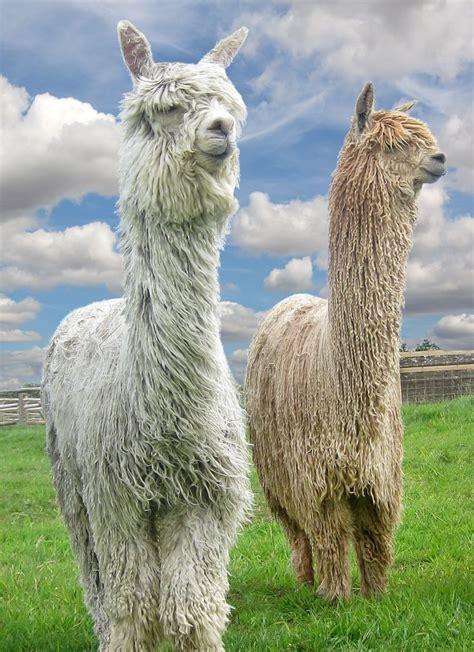 Wonderful Llama Photo by Gorgeous Textures Gentle Wonderful Alpacas Suri