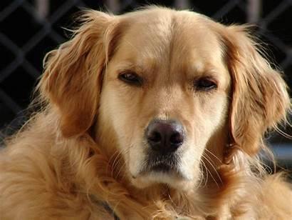 Retriever Golden Pets Being Growth
