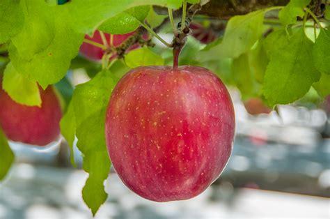 apple fuji single washington tree varieties hanging orchards