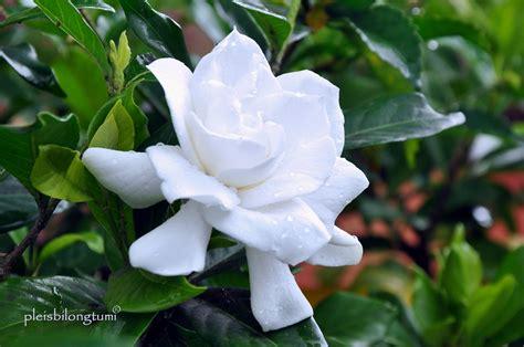 tanaman hias bunga putih cigudeg pleis bilong tu mi