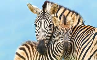 Image result for cute zebra pictures