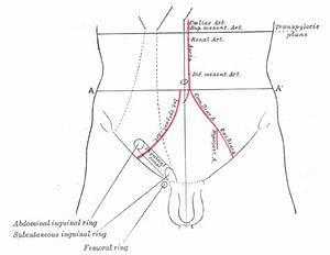 Illustrations  Fig  1227  Gray  Henry  1918  Anatomy Of