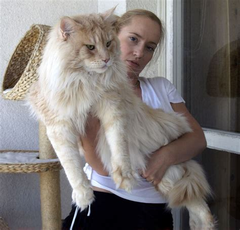 average cat lifespan 133 best images about maine coon cats on pinterest the internet orange cats and cats
