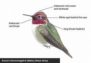 Anna U0026 39 S Hummingbird  Male  Identification Diagram