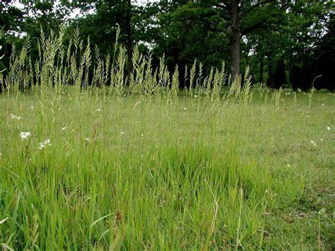 http://memim.com/brachypodium-pinnatum.html
