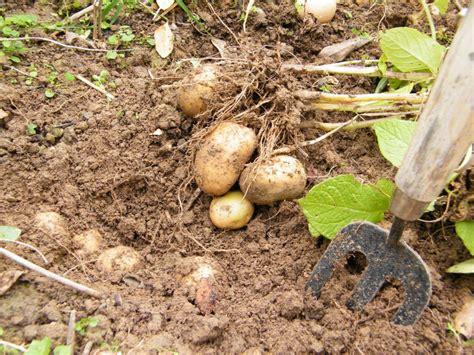 sind kartoffeln gesund warum sind kartoffeln gesund was ist an kartoffeln giftig