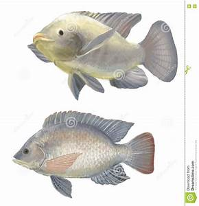 Freshwater fish tilapia stock illustration. Image of ...