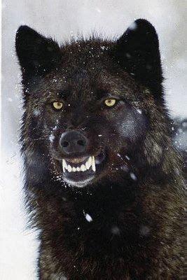 bit   angry wolf wolf dog wolf