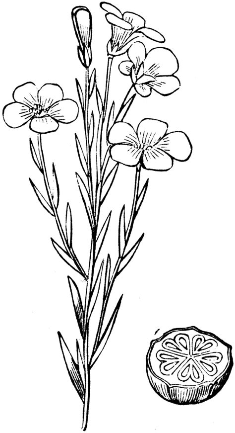common flax clipart