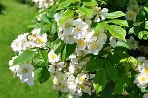 Wilde Triebe Rosen : wann rosen schneiden anleitung zum rosenschnitt ~ Lizthompson.info Haus und Dekorationen
