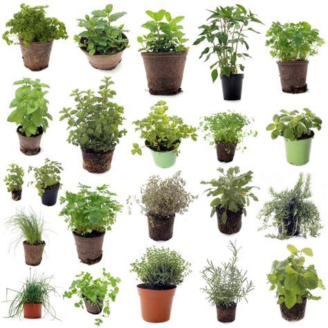 plante aromatique cuisine potées de plantes aromatiques photo cynoclub fotolia com côté jardin