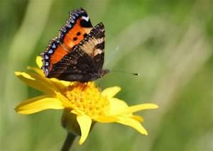 Schmetterling Am Kinderbett : schmetterlinge am oberrhein sch n gef hrdet s dbaden ~ Lizthompson.info Haus und Dekorationen
