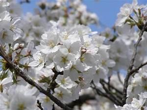 Types Of Ornamental Cherry Trees