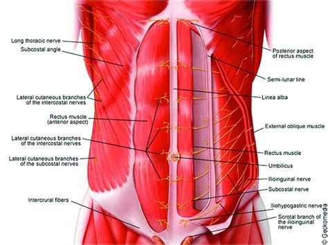 How skeletal muscles are named? Anatomy of the neuraxis, thoracic and abdominal walls, upper and lower limbs | Anesthesia Key